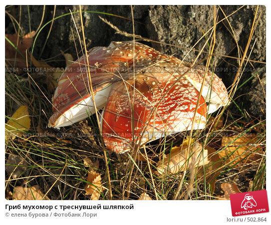 Купить «Гриб мухомор с треснувшей шляпкой», фото № 502864, снято 4 октября 2008 г. (c) елена бурова / Фотобанк Лори