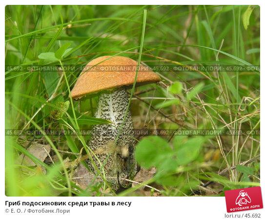 Гриб подосиновик среди травы в лесу, фото № 45692, снято 7 августа 2005 г. (c) Екатерина Овсянникова / Фотобанк Лори