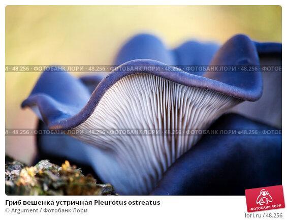 Гриб вешенка устричная Pleurotus ostreatus, фото № 48256, снято 15 декабря 2006 г. (c) Argument / Фотобанк Лори