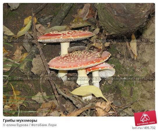 Купить «Грибы мухоморы», фото № 495732, снято 4 октября 2008 г. (c) елена бурова / Фотобанк Лори
