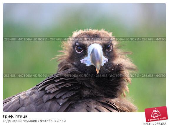 Гриф, птица, эксклюзивное фото № 286688, снято 26 апреля 2008 г. (c) Дмитрий Нейман / Фотобанк Лори