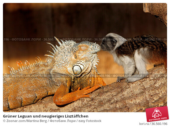 Grüner Leguan und neugieriges Lisztäffchen. Стоковое фото, фотограф Zoonar.com/Martina Berg / easy Fotostock / Фотобанк Лори