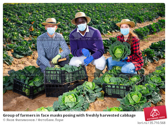 Group of farmers in face masks posing with freshly harvested cabbage. Стоковое фото, фотограф Яков Филимонов / Фотобанк Лори