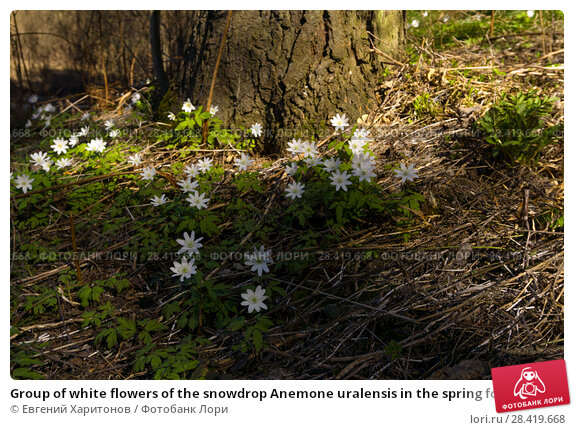 Купить «Group of white flowers of the snowdrop Anemone uralensis in the spring forest near the roots of the old fir», фото № 28419668, снято 12 мая 2018 г. (c) Евгений Харитонов / Фотобанк Лори