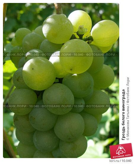Купить «Гроздь белого винограда», фото № 10040, снято 10 сентября 2006 г. (c) Минакова Татьяна / Фотобанк Лори