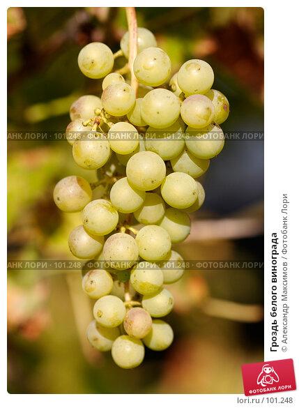 Гроздь белого винограда, фото № 101248, снято 23 сентября 2006 г. (c) Александр Максимов / Фотобанк Лори