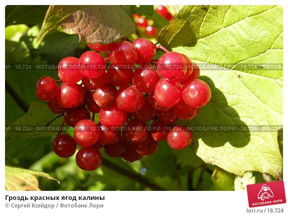 Гроздь красных ягод калины, фото № 18724, снято 24 сентября 2006 г. (c) Сергей Ксейдор / Фотобанк Лори