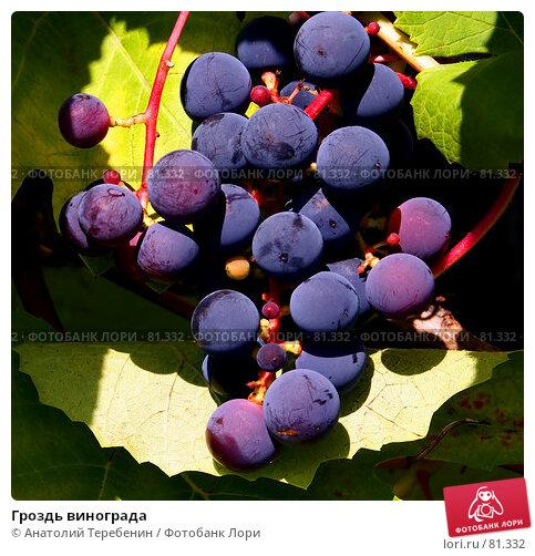 Гроздь винограда, фото № 81332, снято 11 августа 2007 г. (c) Анатолий Теребенин / Фотобанк Лори