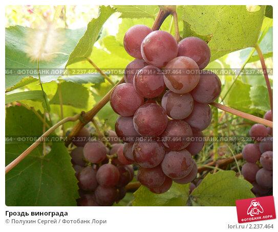 Гроздь винограда. Стоковое фото, фотограф Полухин Сергей / Фотобанк Лори