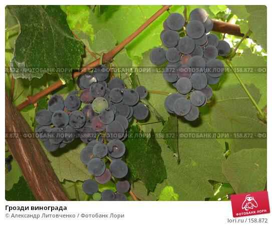 Грозди винограда, фото № 158872, снято 13 сентября 2007 г. (c) Александр Литовченко / Фотобанк Лори