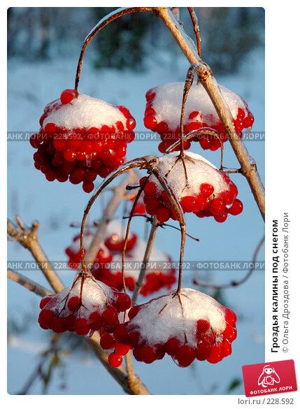 Гроздья калины под снегом, фото № 228592, снято 27 октября 2005 г. (c) Ольга Дроздова / Фотобанк Лори