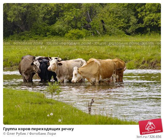 Группа коров переходящих речку, фото № 326656, снято 8 июня 2008 г. (c) Олег Рубик / Фотобанк Лори