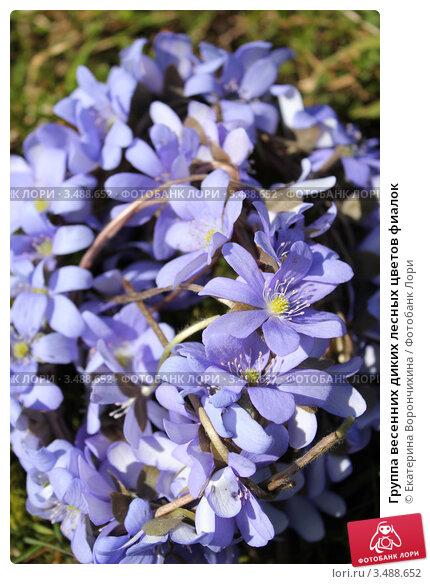 Купить «Группа весенних диких лесных цветов фиалок», фото № 3488652, снято 30 апреля 2012 г. (c) Екатерина Ворончихина / Фотобанк Лори