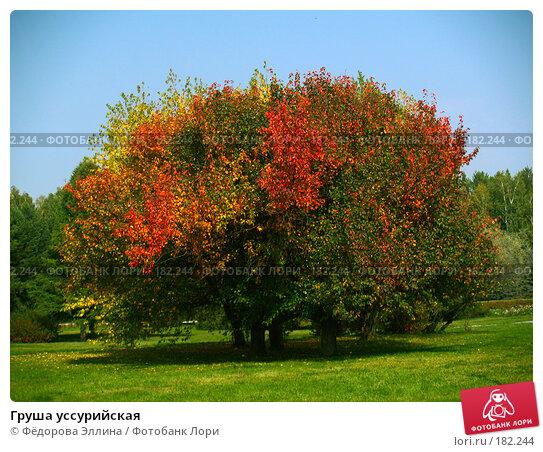 Груша уссурийская, фото № 182244, снято 12 сентября 2006 г. (c) Фёдорова Эллина / Фотобанк Лори