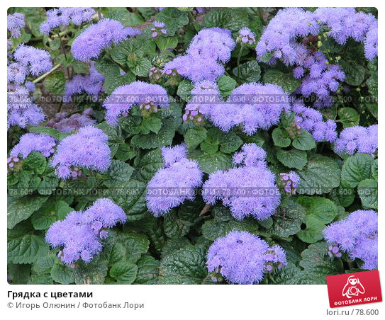Купить «Грядка с цветами», фото № 78600, снято 23 сентября 2005 г. (c) Игорь Олюнин / Фотобанк Лори