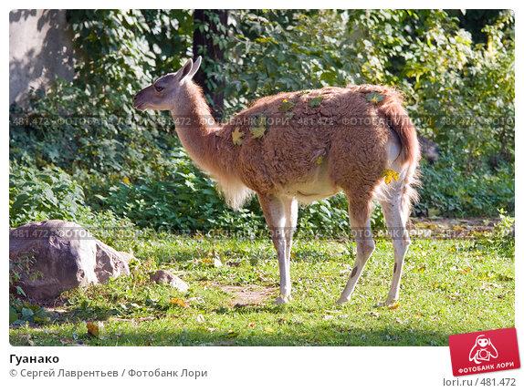 Купить «Гуанако», фото № 481472, снято 26 сентября 2008 г. (c) Сергей Лаврентьев / Фотобанк Лори