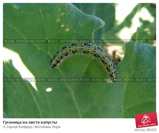Гусеница на листе капусты, фото № 30012, снято 28 августа 2006 г. (c) Сергей Ксейдор / Фотобанк Лори