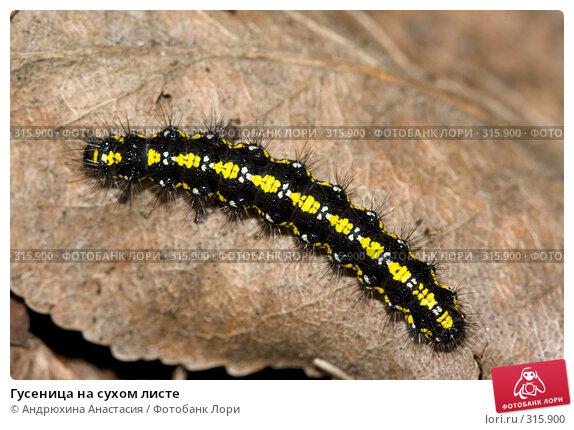 Гусеница на сухом листе, фото № 315900, снято 27 апреля 2008 г. (c) Андрюхина Анастасия / Фотобанк Лори