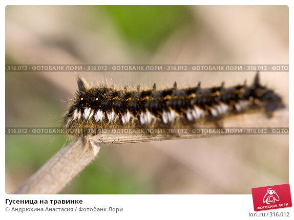 Гусеница на травинке, фото № 316012, снято 30 апреля 2008 г. (c) Андрюхина Анастасия / Фотобанк Лори