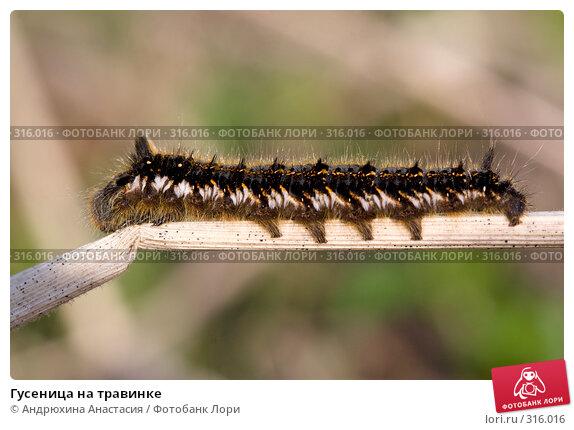 Купить «Гусеница на травинке», фото № 316016, снято 30 апреля 2008 г. (c) Андрюхина Анастасия / Фотобанк Лори