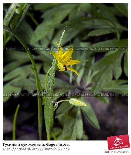 Гусиный лук желтый. Gagea lutea., фото № 259836, снято 13 апреля 2008 г. (c) Кондорский Дмитрий / Фотобанк Лори