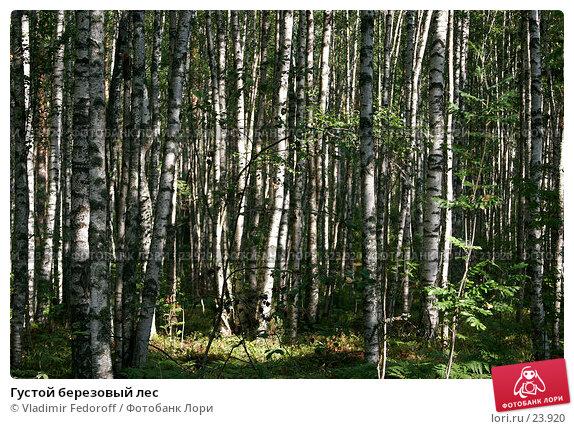 Густой березовый лес, фото № 23920, снято 3 сентября 2006 г. (c) Vladimir Fedoroff / Фотобанк Лори