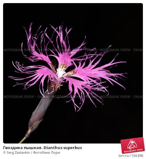 Гвоздика пышная. Dianthus superbus, фото № 134896, снято 14 августа 2006 г. (c) Serg Zastavkin / Фотобанк Лори