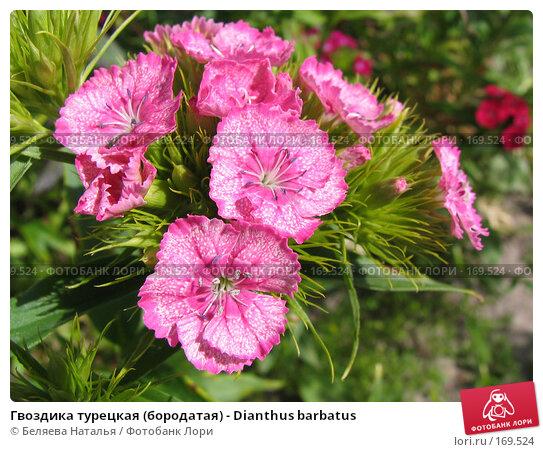 Гвоздика турецкая (бородатая) - Dianthus barbatus, фото № 169524, снято 2 июля 2006 г. (c) Беляева Наталья / Фотобанк Лори