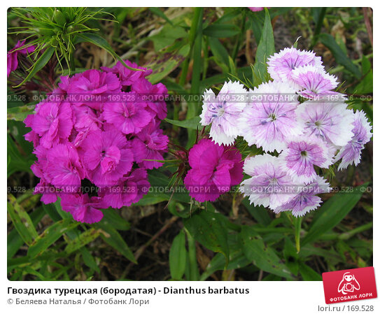Гвоздика турецкая (бородатая) - Dianthus barbatus, фото № 169528, снято 2 июля 2006 г. (c) Беляева Наталья / Фотобанк Лори