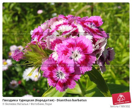 Гвоздика турецкая (бородатая) - Dianthus barbatus, фото № 169532, снято 8 июля 2006 г. (c) Беляева Наталья / Фотобанк Лори
