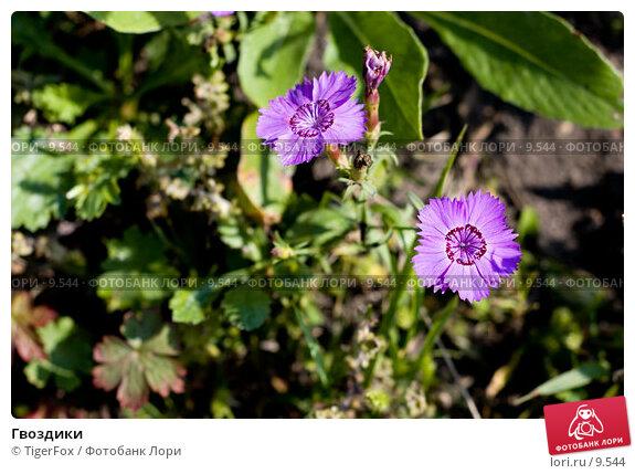 Гвоздики, фото № 9544, снято 17 сентября 2006 г. (c) TigerFox / Фотобанк Лори