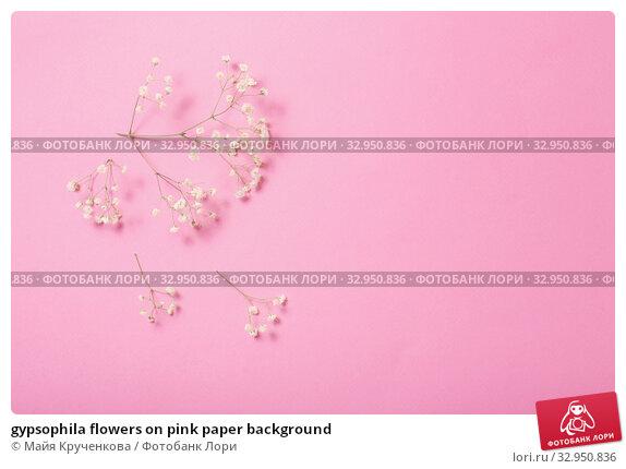 gypsophila flowers on pink paper background. Стоковое фото, фотограф Майя Крученкова / Фотобанк Лори