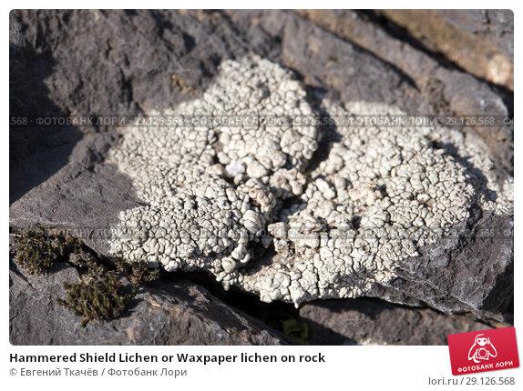 Купить «Hammered Shield Lichen or Waxpaper lichen on rock», фото № 29126568, снято 7 февраля 2015 г. (c) Евгений Ткачёв / Фотобанк Лори