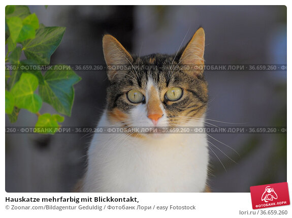 Hauskatze mehrfarbig mit Blickkontakt, Стоковое фото, фотограф Zoonar.com/Bildagentur Geduldig / easy Fotostock / Фотобанк Лори