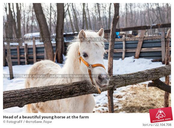 Купить «Head of a beautiful young horse at the farm», фото № 22104708, снято 7 марта 2016 г. (c) FotograFF / Фотобанк Лори