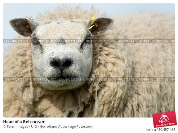 Head of a Beltex ram. Стоковое фото, фотограф Farm Images \ UIG / age Fotostock / Фотобанк Лори