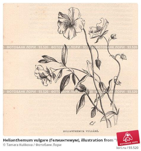 "Helianthemum vulgare (Гелиантемум), illustration from ""Flowers of the field"" book, published 1888, иллюстрация № 93520 (c) Tamara Kulikova / Фотобанк Лори"