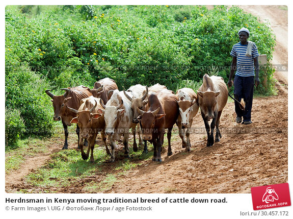 Herdnsman in Kenya moving traditional breed of cattle down road. Стоковое фото, фотограф Farm Images \ UIG / age Fotostock / Фотобанк Лори