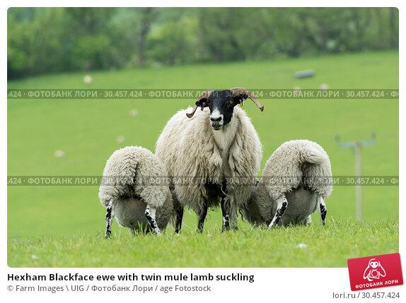 Hexham Blackface ewe with twin mule lamb suckling. Стоковое фото, фотограф Farm Images \ UIG / age Fotostock / Фотобанк Лори