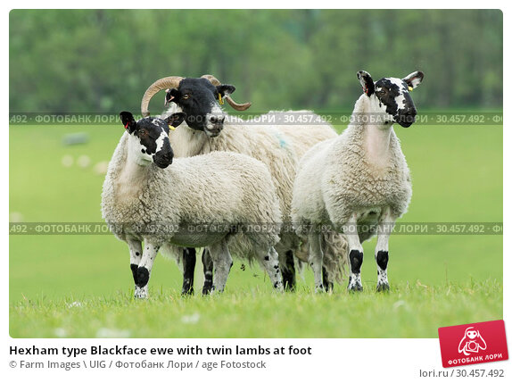 Hexham type Blackface ewe with twin lambs at foot. Стоковое фото, фотограф Farm Images \ UIG / age Fotostock / Фотобанк Лори