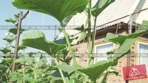 Купить «High lashes with cucumbers grow in garden stock footage video», видеоролик № 28790844, снято 19 июля 2018 г. (c) Юлия Машкова / Фотобанк Лори