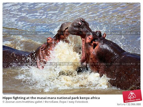 Hippo fighting at the masai mara national park kenya africa. Стоковое фото, фотограф Zoonar.com/matthieu gallet / easy Fotostock / Фотобанк Лори