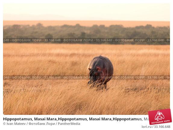 Купить «Hippopotamus, Masai Mara,Hippopotamus, Masai Mara,Hippopotamus, Masai Mara,Hippopotamus, Masai Mara», фото № 33166648, снято 7 июля 2020 г. (c) PantherMedia / Фотобанк Лори