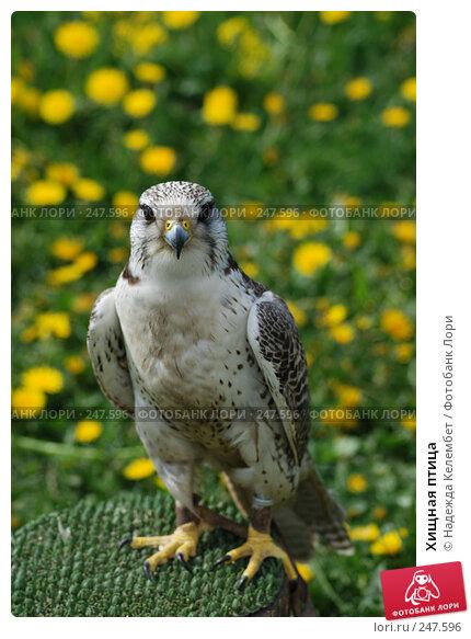 Хищная птица, фото № 247596, снято 19 мая 2007 г. (c) Надежда Келембет / Фотобанк Лори