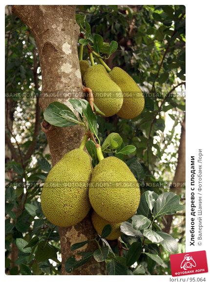 Хлебное дерево с плодами, фото № 95064, снято 13 июня 2007 г. (c) Валерий Шанин / Фотобанк Лори