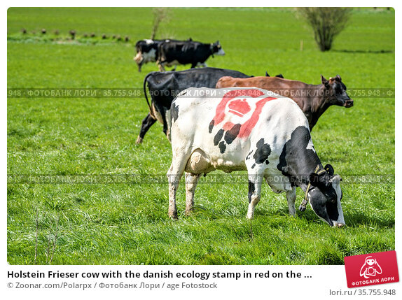 Holstein Frieser cow with the danish ecology stamp in red on the ... Стоковое фото, фотограф Zoonar.com/Polarpx / age Fotostock / Фотобанк Лори