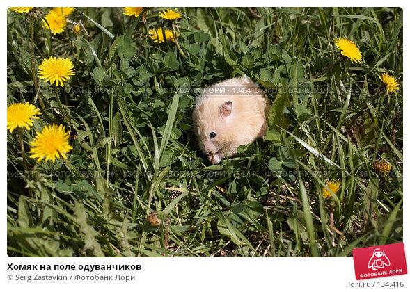 Хомяк на поле одуванчиков, фото № 134416, снято 26 мая 2006 г. (c) Serg Zastavkin / Фотобанк Лори