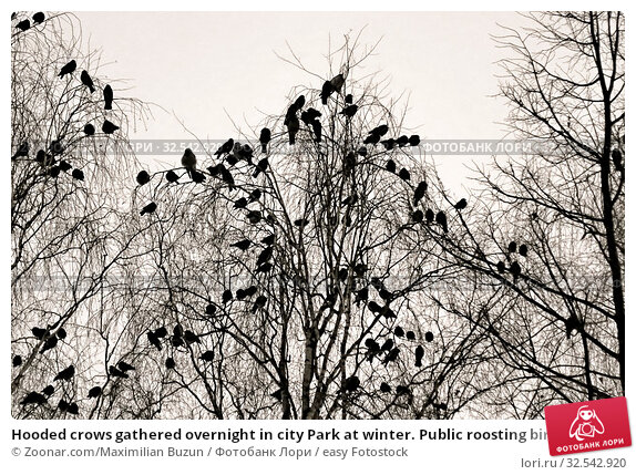 Купить «Hooded crows gathered overnight in city Park at winter. Public roosting birds, multitude of birds cluster of black birds», фото № 32542920, снято 9 декабря 2019 г. (c) easy Fotostock / Фотобанк Лори