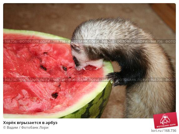 Хорёк вгрызается в арбуз, фото № 168736, снято 28 сентября 2007 г. (c) Вадим / Фотобанк Лори