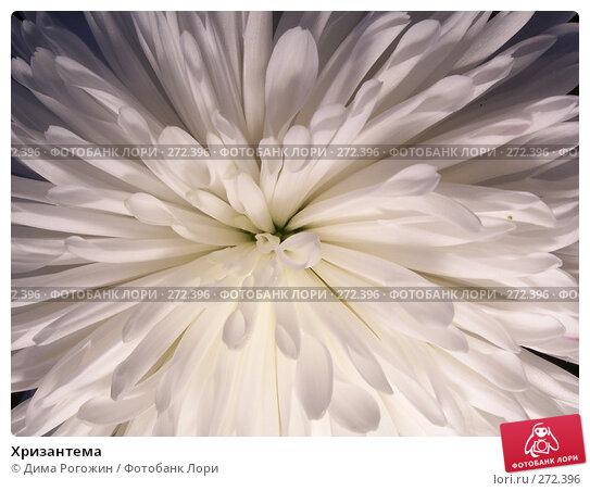 Хризантема, фото № 272396, снято 3 мая 2008 г. (c) Дима Рогожин / Фотобанк Лори